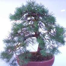 Bonsai-demontration-1580416673